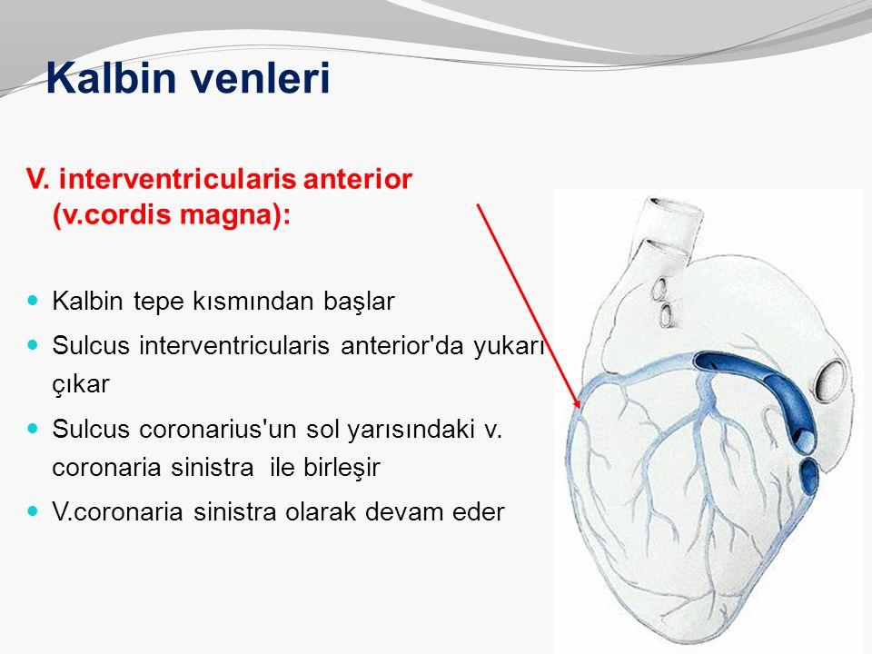 Kalbin venleri V. interventricularis anterior (v.cordis magna):