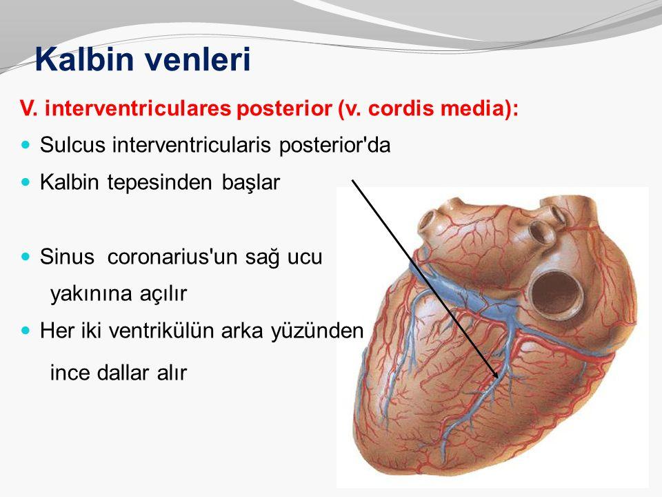 Kalbin venleri V. interventriculares posterior (v. cordis media):