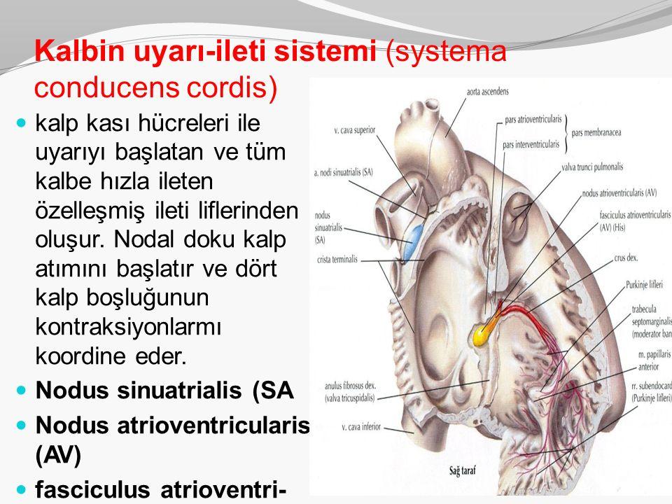 Kalbin uyarı-ileti sistemi (systema conducens cordis)