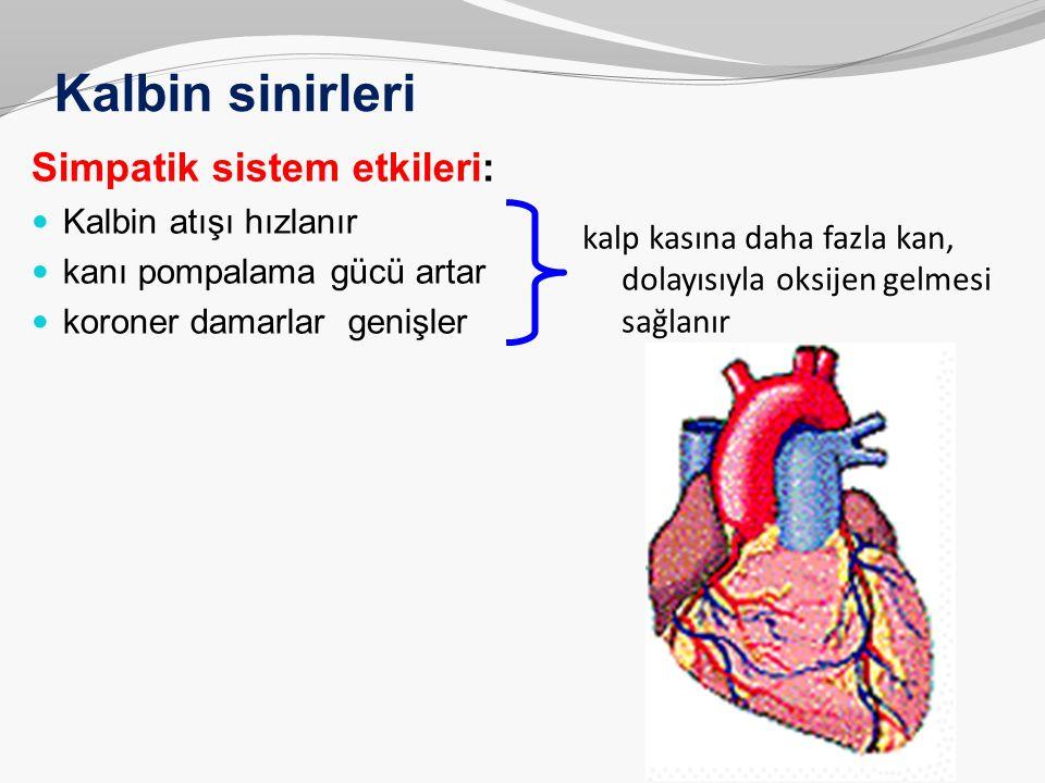 Kalbin sinirleri Simpatik sistem etkileri: Kalbin atışı hızlanır