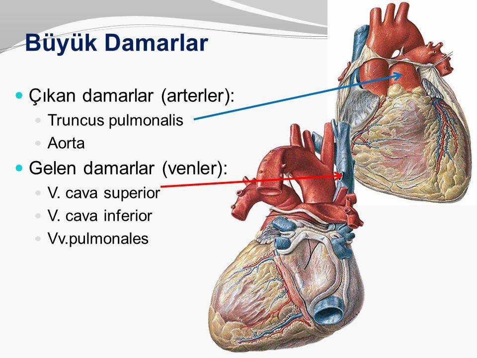Büyük Damarlar Çıkan damarlar (arterler): Gelen damarlar (venler):