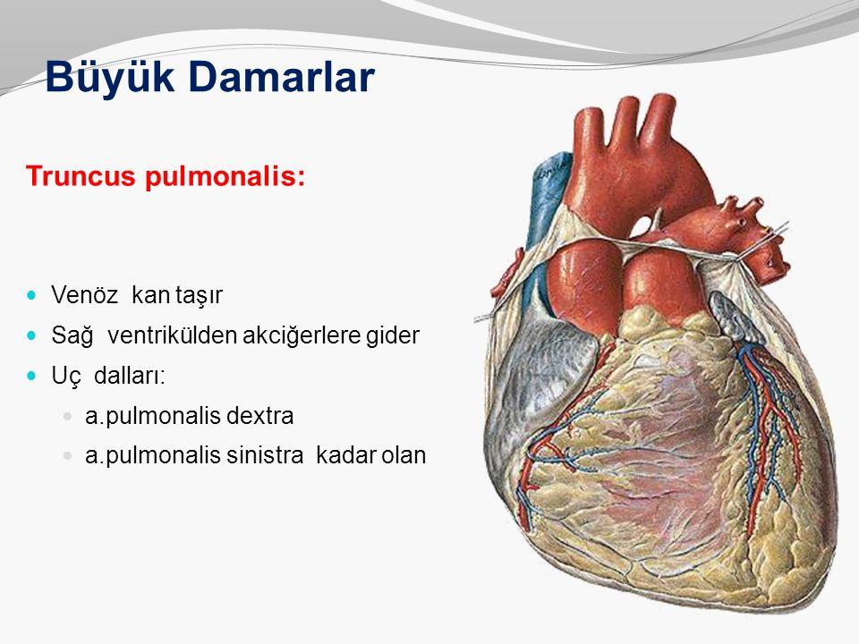 Büyük Damarlar Truncus pulmonalis: Venöz kan taşır