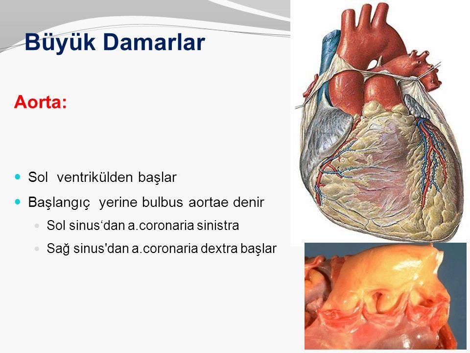 Büyük Damarlar Aorta: Sol ventrikülden başlar