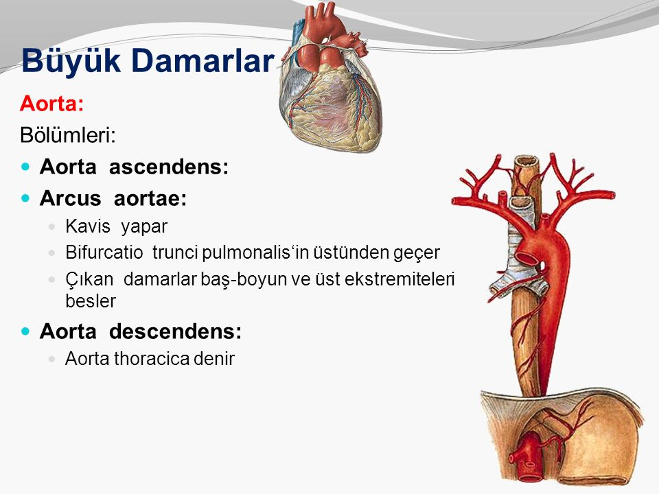 Büyük Damarlar Aorta: Bölümleri: Aorta ascendens: Arcus aortae: