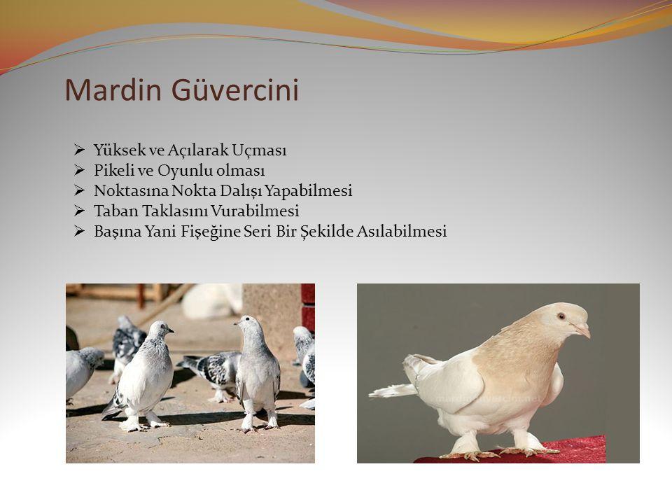 Mardin Güvercini Yüksek ve Açılarak Uçması Pikeli ve Oyunlu olması