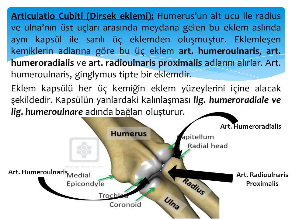 Articulatio Cubiti (Dirsek eklemi): Humerus'un alt ucu ile radius ve ulna'nın üst uçları arasında meydana gelen bu eklem aslında aynı kapsül ile sarılı üç eklemden oluşmuştur. Eklemleşen kemiklerin adlarına göre bu üç eklem art. humeroulnaris, art. humeroradialis ve art. radioulnaris proximalis adlarını alırlar. Art. humeroulnaris, ginglymus tipte bir eklemdir. Eklem kapsülü her üç kemiğin eklem yüzeylerini içine alacak şekildedir. Kapsülün yanlardaki kalınlaşması lig. humeroradiale ve lig. humeroulnare adında bağları oluşturur.