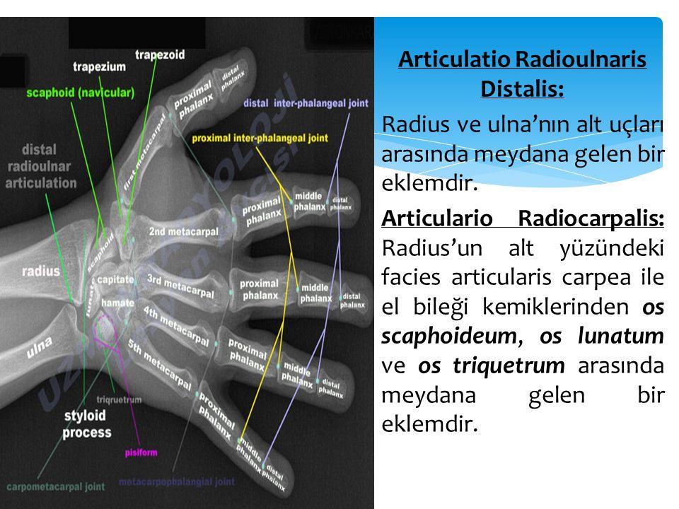 Articulatio Radioulnaris Distalis: Radius ve ulna'nın alt uçları arasında meydana gelen bir eklemdir.