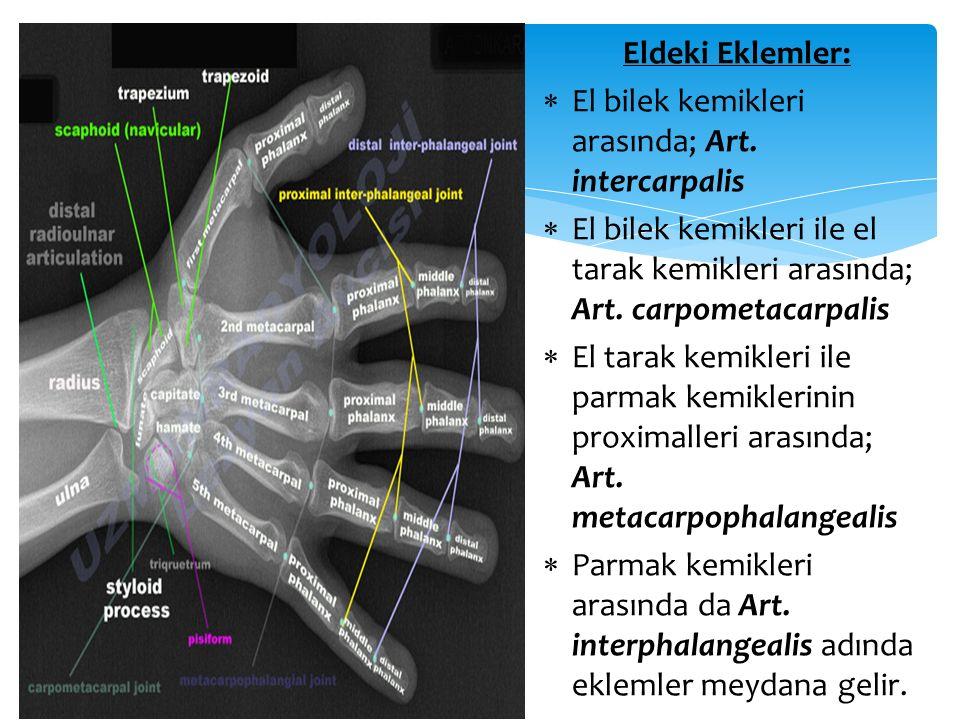 Eldeki Eklemler: El bilek kemikleri arasında; Art. intercarpalis. El bilek kemikleri ile el tarak kemikleri arasında; Art. carpometacarpalis.