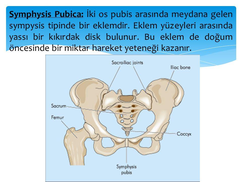 Symphysis Pubica: İki os pubis arasında meydana gelen sympysis tipinde bir eklemdir.