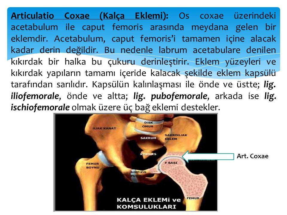 Articulatio Coxae (Kalça Eklemi): Os coxae üzerindeki acetabulum ile caput femoris arasında meydana gelen bir eklemdir. Acetabulum, caput femoris'i tamamen içine alacak kadar derin değildir. Bu nedenle labrum acetabulare denilen kıkırdak bir halka bu çukuru derinleştirir. Eklem yüzeyleri ve kıkırdak yapıların tamamı içeride kalacak şekilde eklem kapsülü tarafından sarılıdır. Kapsülün kalınlaşması ile önde ve üstte; lig. iliofemorale, önde ve altta; lig. pubofemorale, arkada ise lig. ischiofemorale olmak üzere üç bağ eklemi destekler.