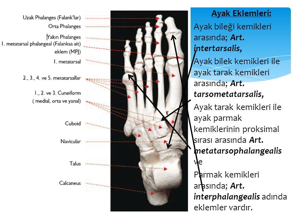 Ayak Eklemleri: Ayak bileği kemikleri arasında; Art. intertarsalis, Ayak bilek kemikleri ile ayak tarak kemikleri arasında; Art. tarsometatarsalis,