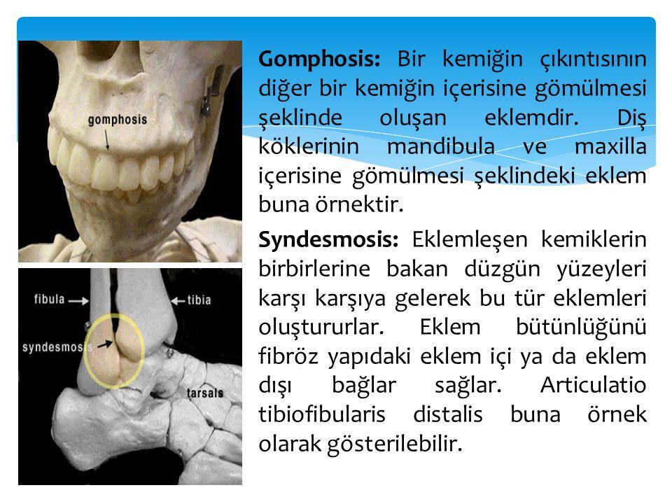Gomphosis: Bir kemiğin çıkıntısının diğer bir kemiğin içerisine gömülmesi şeklinde oluşan eklemdir.