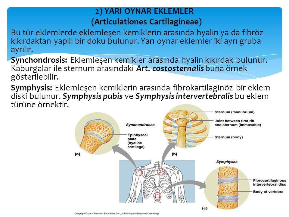 2) YARI OYNAR EKLEMLER (Articulationes Cartilagineae) Bu tür eklemlerde eklemleşen kemiklerin arasında hyalin ya da fibröz kıkırdaktan yapılı bir doku bulunur.