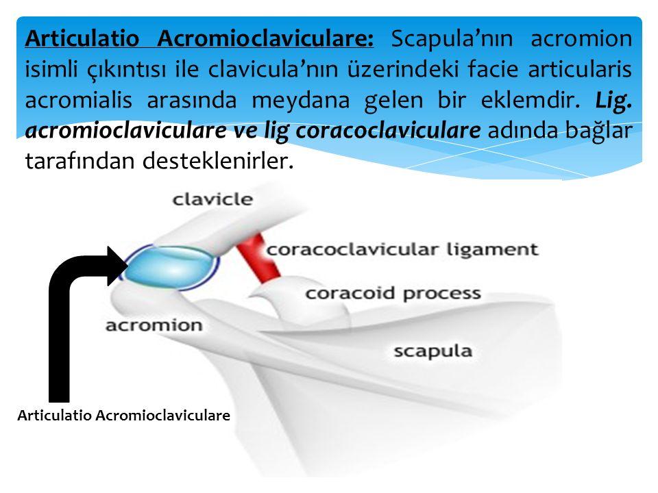 Articulatio Acromioclaviculare: Scapula'nın acromion isimli çıkıntısı ile clavicula'nın üzerindeki facie articularis acromialis arasında meydana gelen bir eklemdir. Lig. acromioclaviculare ve lig coracoclaviculare adında bağlar tarafından desteklenirler.