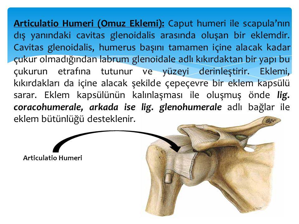 Articulatio Humeri (Omuz Eklemi): Caput humeri ile scapula'nın dış yanındaki cavitas glenoidalis arasında oluşan bir eklemdir. Cavitas glenoidalis, humerus başını tamamen içine alacak kadar çukur olmadığından labrum glenoidale adlı kıkırdaktan bir yapı bu çukurun etrafına tutunur ve yüzeyi derinleştirir. Eklemi, kıkırdakları da içine alacak şekilde çepeçevre bir eklem kapsülü sarar. Eklem kapsülünün kalınlaşması ile oluşmuş önde lig. coracohumerale, arkada ise lig. glenohumerale adlı bağlar ile eklem bütünlüğü desteklenir.