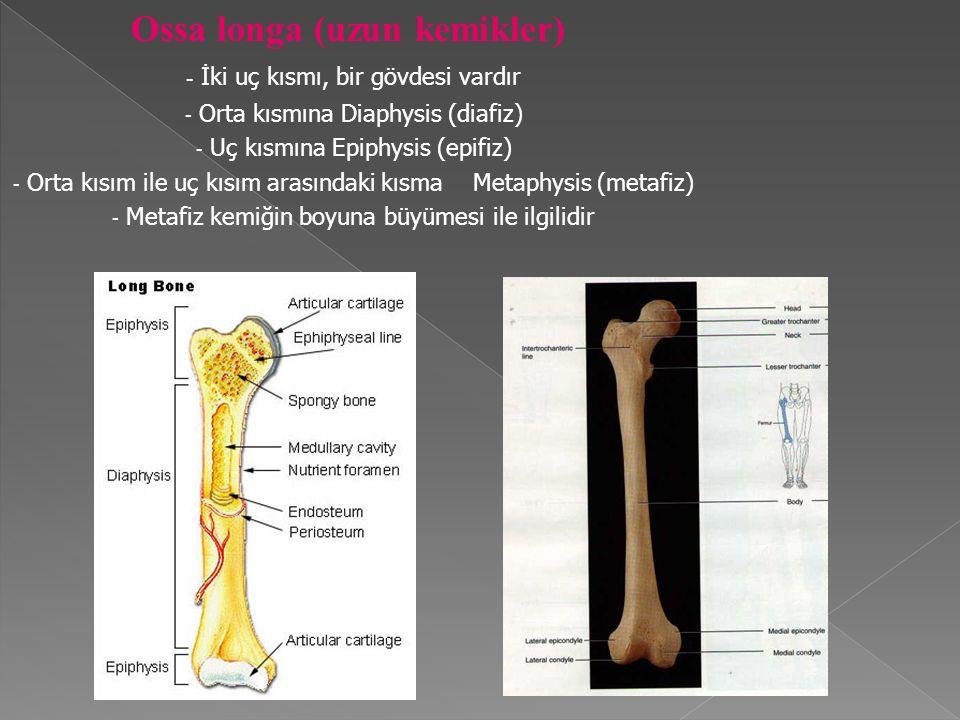 Ossa longa (uzun kemikler)