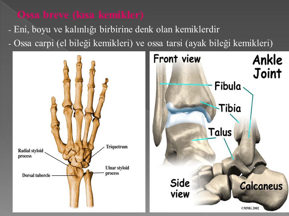 Ossa breve (kısa kemikler)