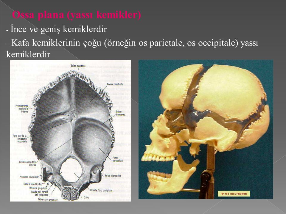 Ossa plana (yassı kemikler)
