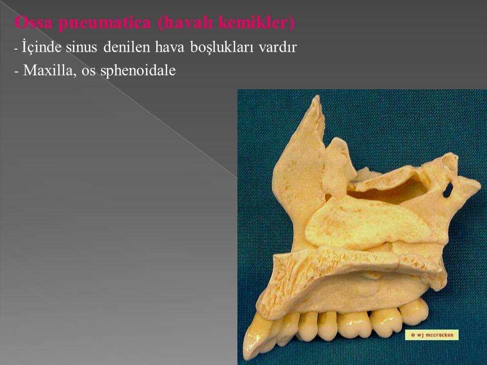 Ossa pneumatica (havalı kemikler)