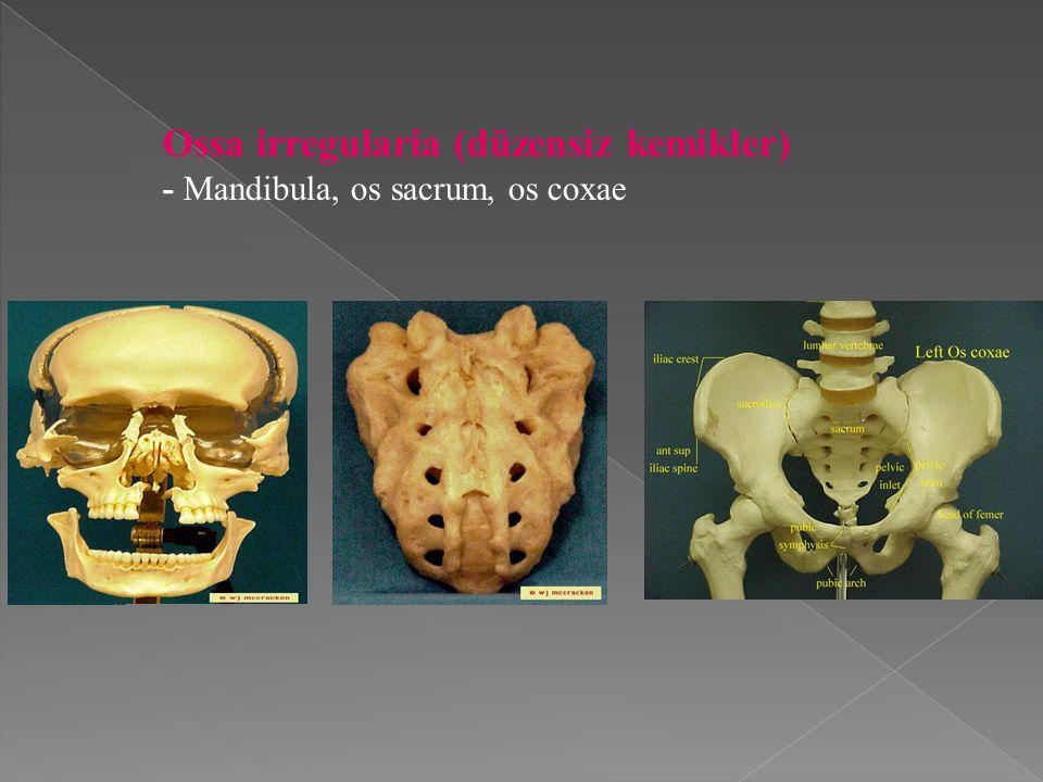 Ossa irregularia (düzensiz kemikler)