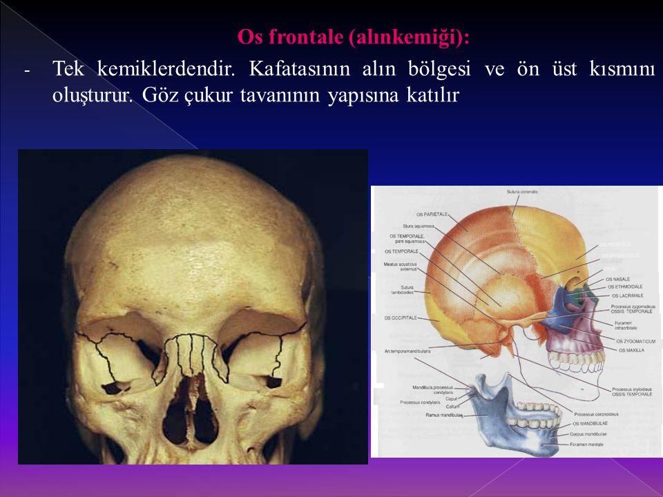 Os frontale (alınkemiği):