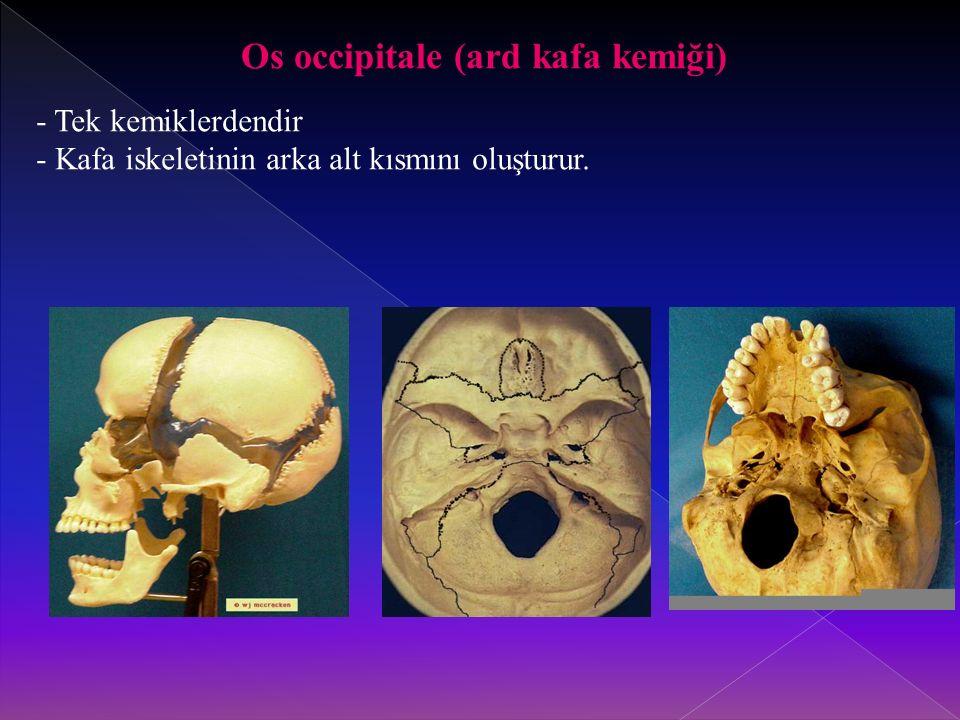 Os occipitale (ard kafa kemiği)