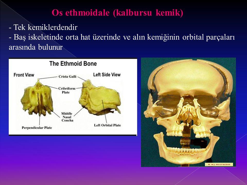 Os ethmoidale (kalbursu kemik)