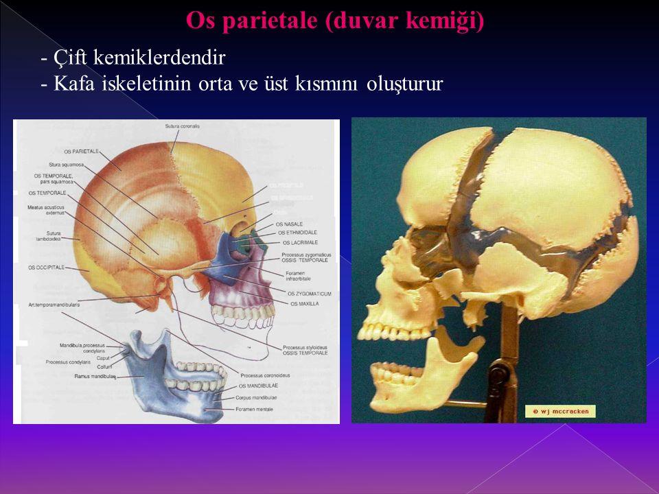 Os parietale (duvar kemiği)