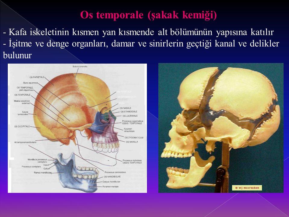Os temporale (şakak kemiği)