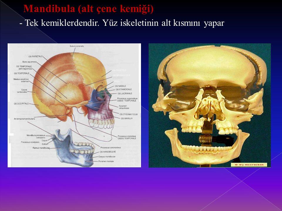 - Tek kemiklerdendir. Yüz iskeletinin alt kısmını yapar
