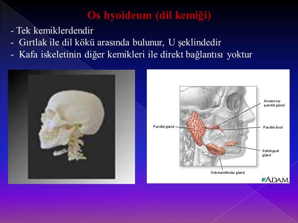 Os hyoideum (dil kemiği)