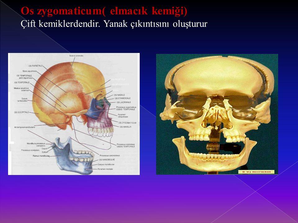 Os zygomaticum( elmacık kemiği)