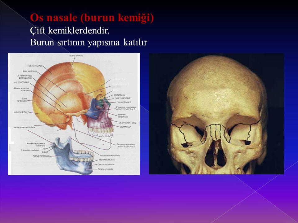 Os nasale (burun kemiği)