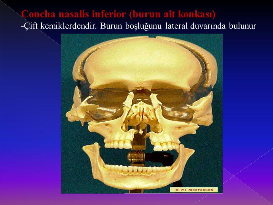 Concha nasalis inferior (burun alt konkası)
