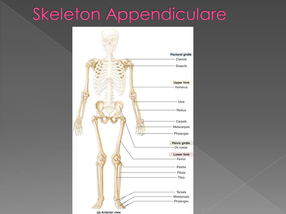 Skeleton Appendiculare