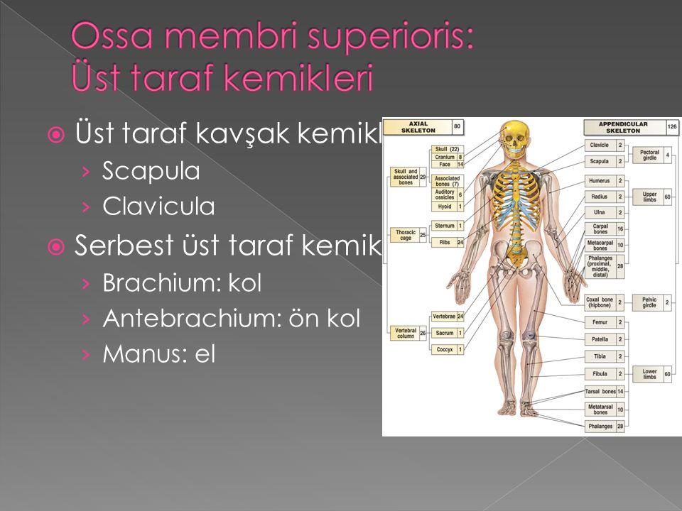 Ossa membri superioris: Üst taraf kemikleri