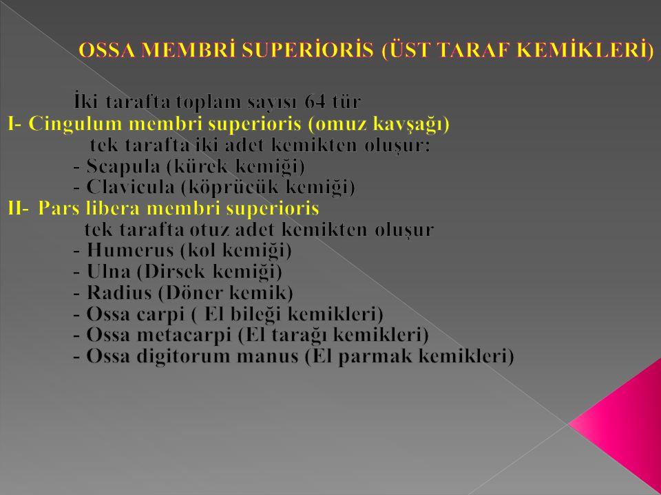 OSSA MEMBRİ SUPERİORİS (ÜST TARAF KEMİKLERİ)