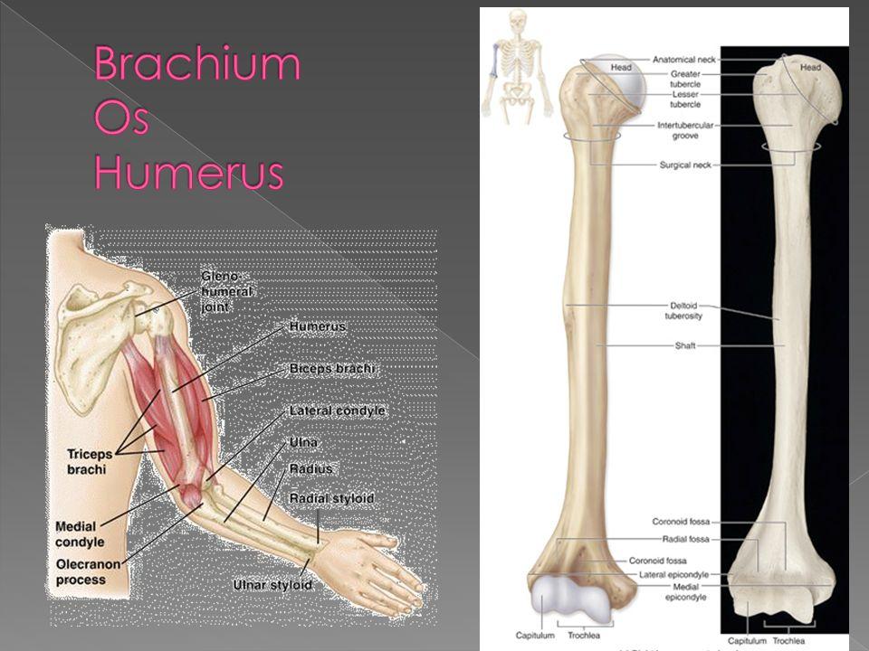 Brachium Os Humerus
