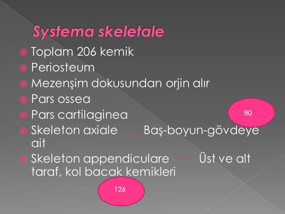 Systema skeletale Toplam 206 kemik Periosteum