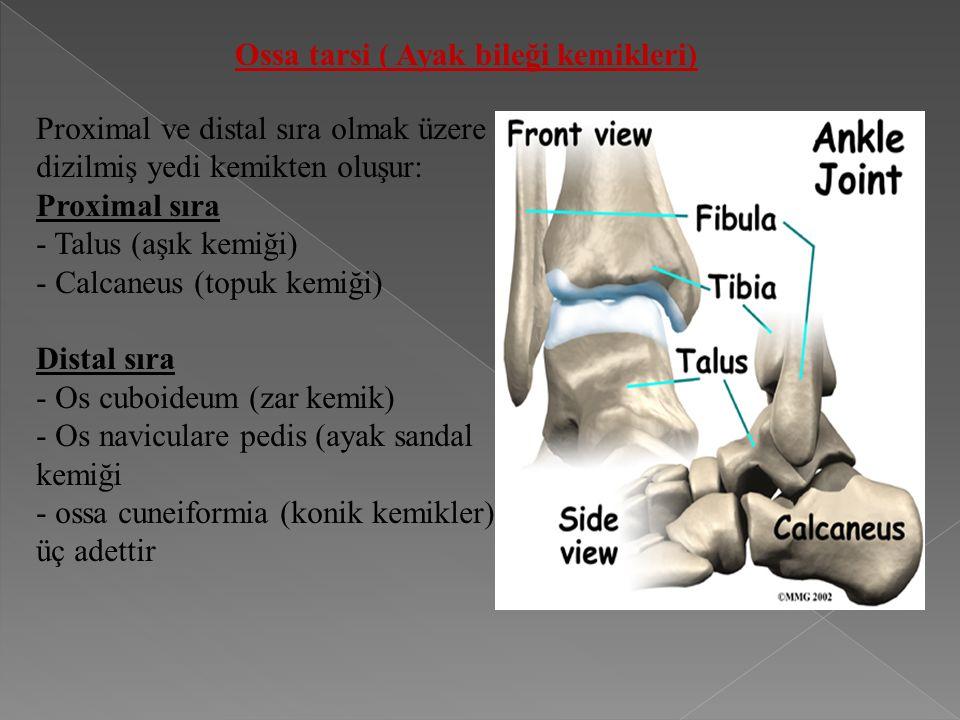 Ossa tarsi ( Ayak bileği kemikleri)