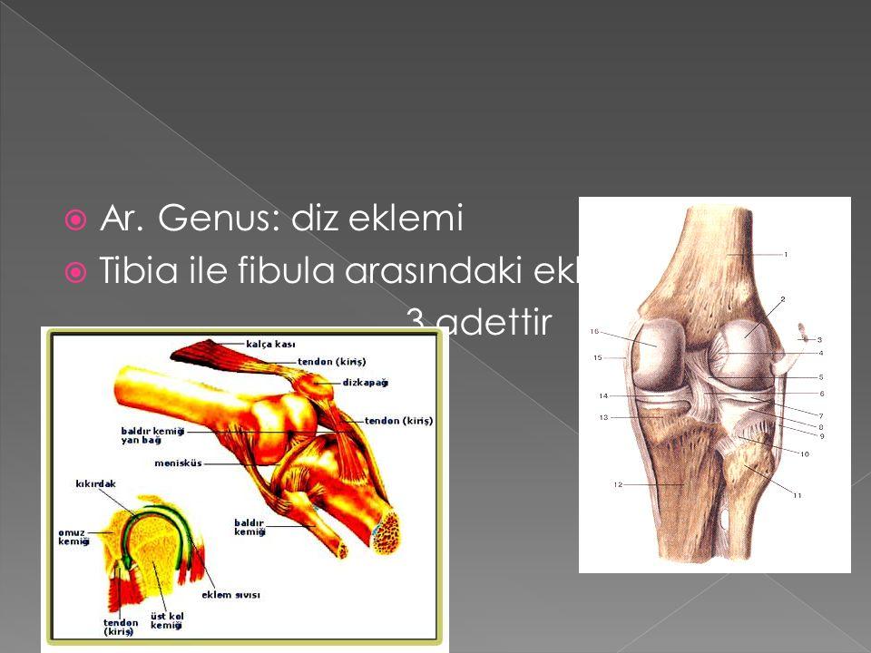 Ar. Genus: diz eklemi Tibia ile fibula arasındaki eklemler 3 adettir