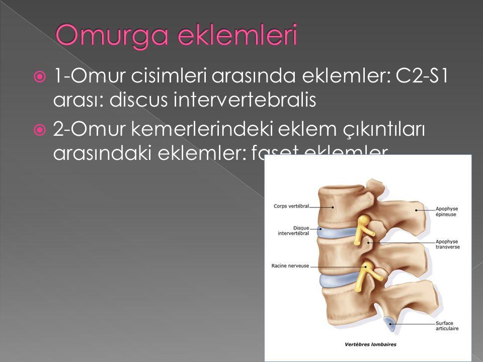 Omurga eklemleri 1-Omur cisimleri arasında eklemler: C2-S1 arası: discus intervertebralis.