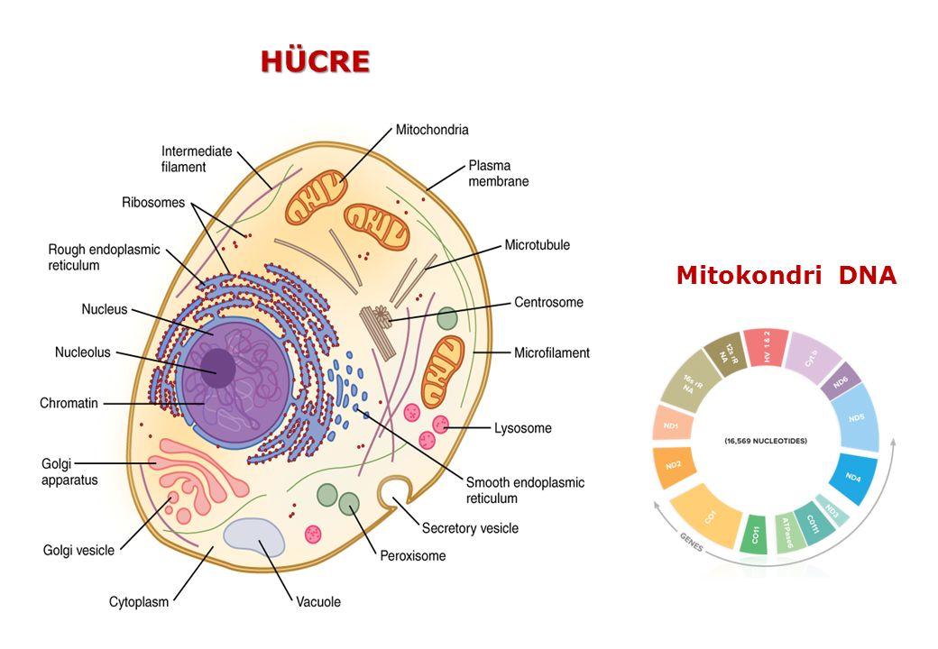 HÜCRE Mitokondri DNA