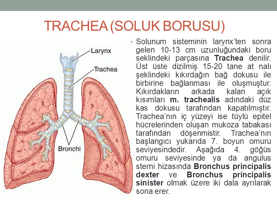 TRACHEA (SOLUK BORUSU)