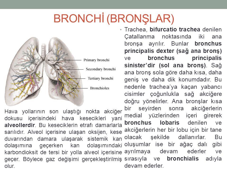 BRONCHİ (BRONŞLAR)