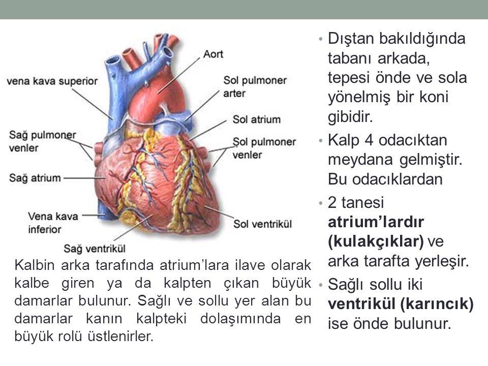 Kalp 4 odacıktan meydana gelmiştir. Bu odacıklardan