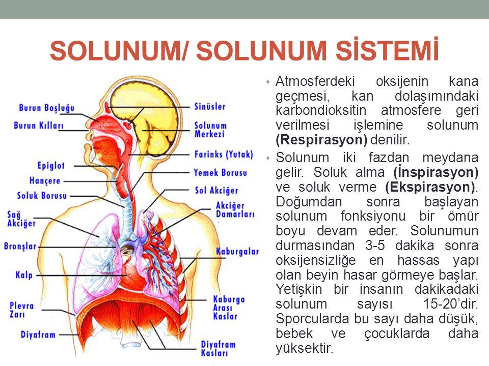 SOLUNUM/ SOLUNUM SİSTEMİ