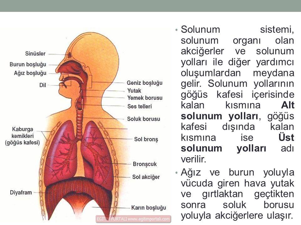 Solunum sistemi, solunum organı olan akciğerler ve solunum yolları ile diğer yardımcı oluşumlardan meydana gelir. Solunum yollarının göğüs kafesi içerisinde kalan kısmına Alt solunum yolları, göğüs kafesi dışında kalan kısmına ise Üst solunum yolları adı verilir.