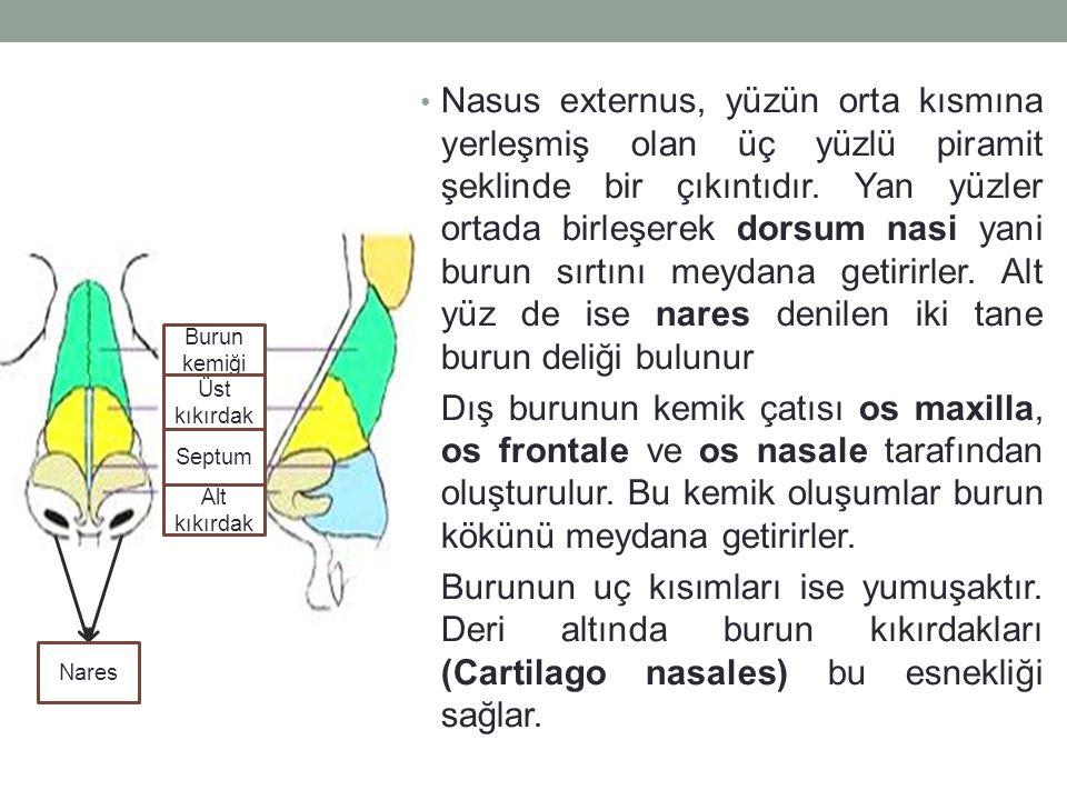 Nasus externus, yüzün orta kısmına yerleşmiş olan üç yüzlü piramit şeklinde bir çıkıntıdır. Yan yüzler ortada birleşerek dorsum nasi yani burun sırtını meydana getirirler. Alt yüz de ise nares denilen iki tane burun deliği bulunur
