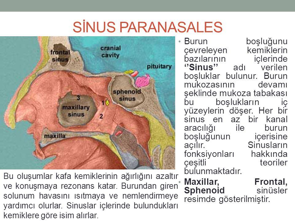 SİNUS PARANASALES